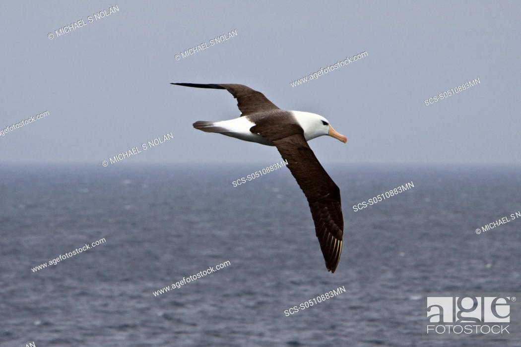 Stock Photo: Adult Black-browed albatross Thalassarche melanophrys on the wing in the Falkland Islands, South Atlantic Ocean The Black-browed Albatross is a large seabird of.