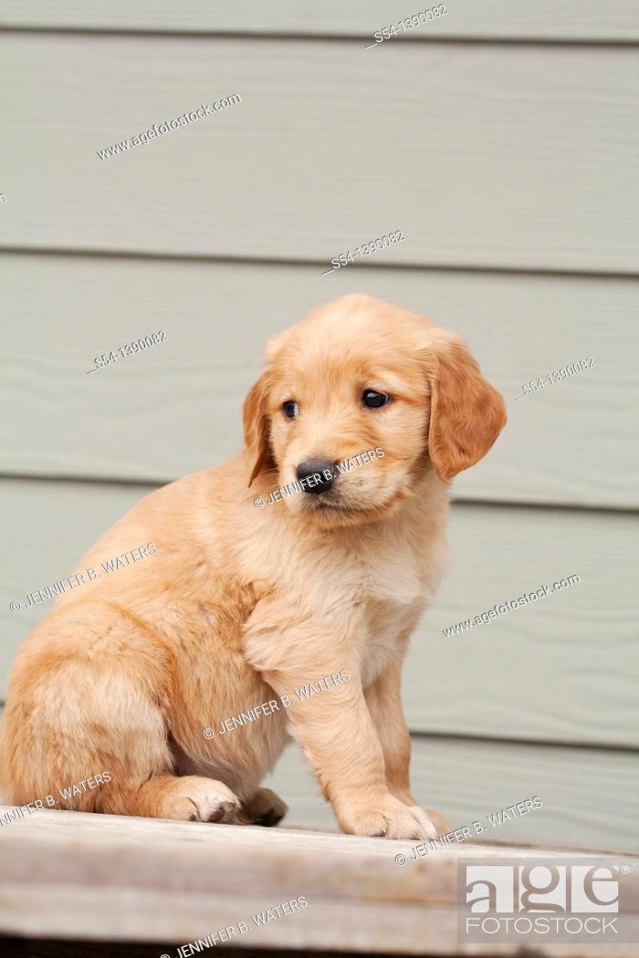 Stock Photo: A Golden Retriever puppy, six weeks old.