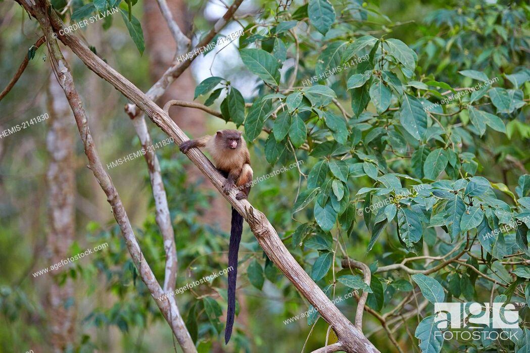 Stock Photo: Brazil, Mato Grosso, Pantanal region, Black-tailed marmoset (Mico melanurus).