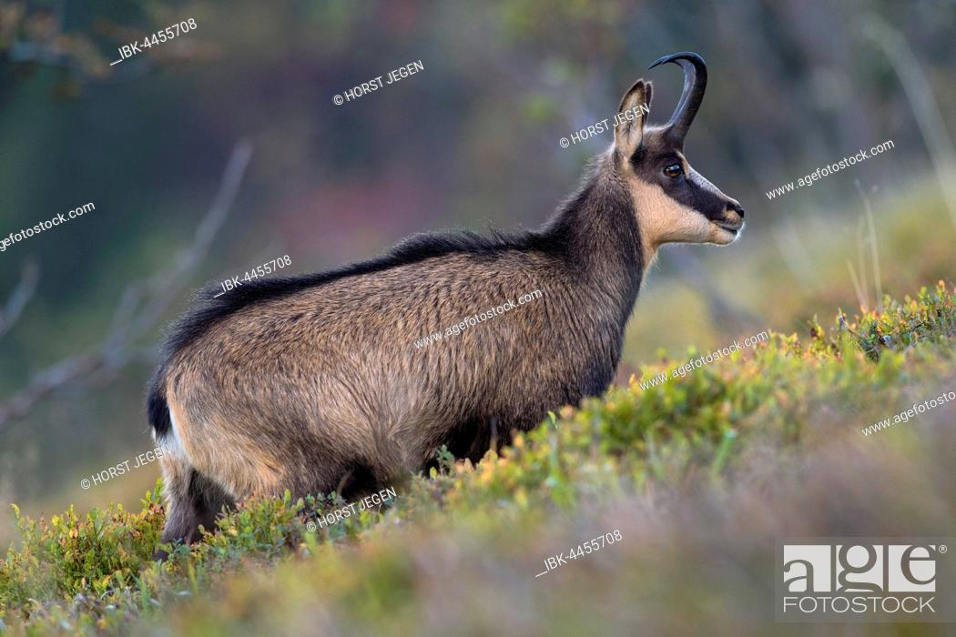 Stock Photo: Chamois (Rupicapra rupicapra) in mountain meadow, Vosges, Hohneck, France.