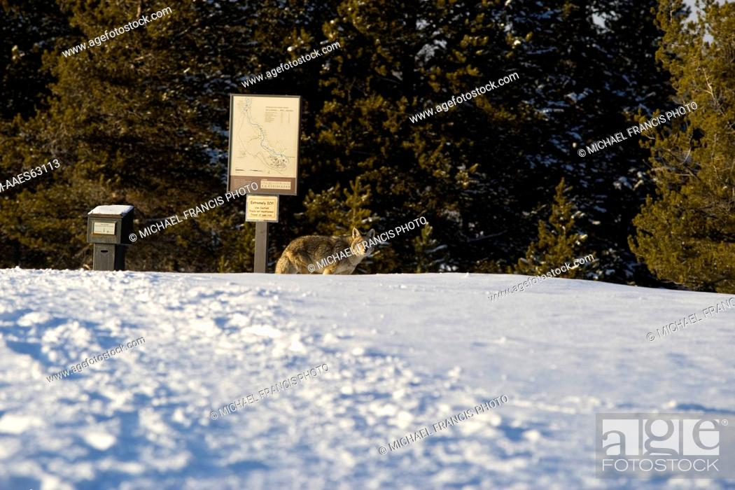Coyote Canis Latrans Alert In Winter Snow At Geyser Basin