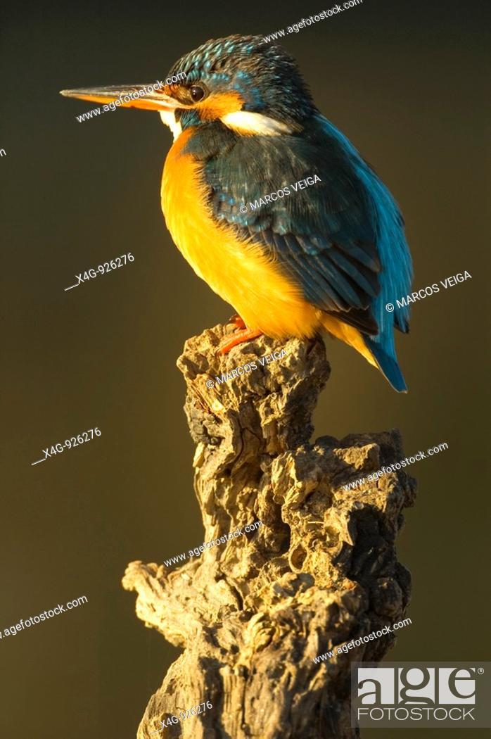 Stock Photo: Hembra de martín pescador Alcedo atthis Female Kingfisher Alcedo atthis.