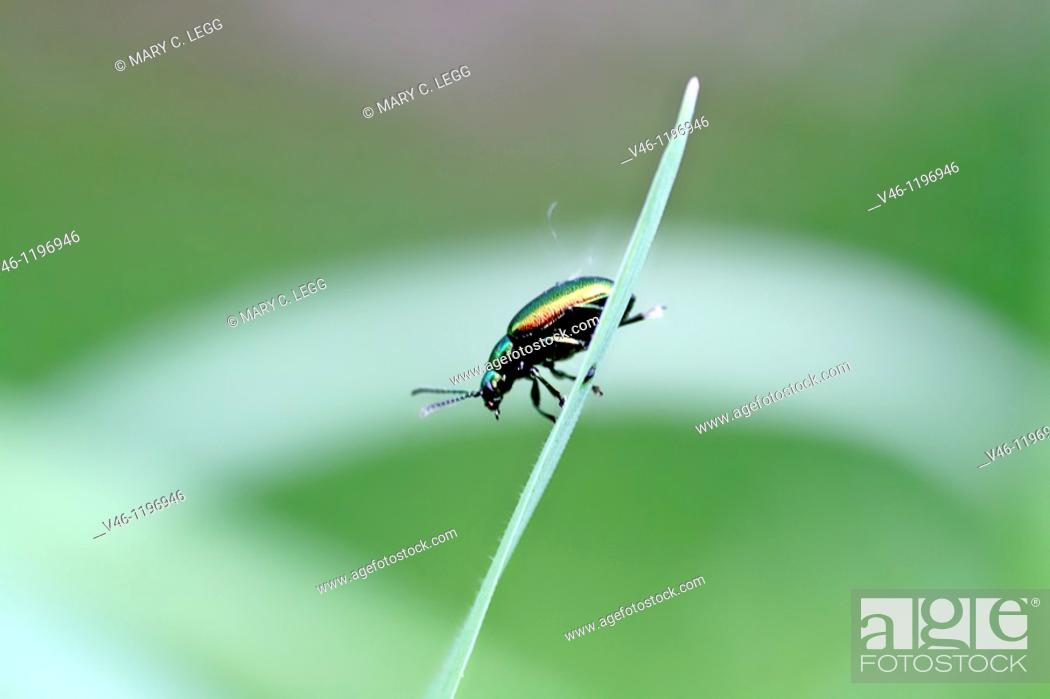 Stock Photo: Chrysolina fastuosa, a tiny rainbow-colored leaf beetle  A pin-head sized beetle on a grassblade  Very colorful metallic beetle considered a serious.