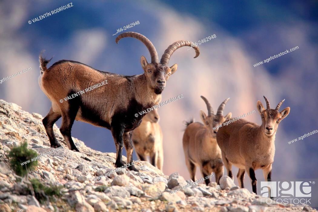 Stock Photo: Ibex (Capra pyrenaica), adult male with a group of young males and females, in the natural park Els Ports. Tarragona. Spain.