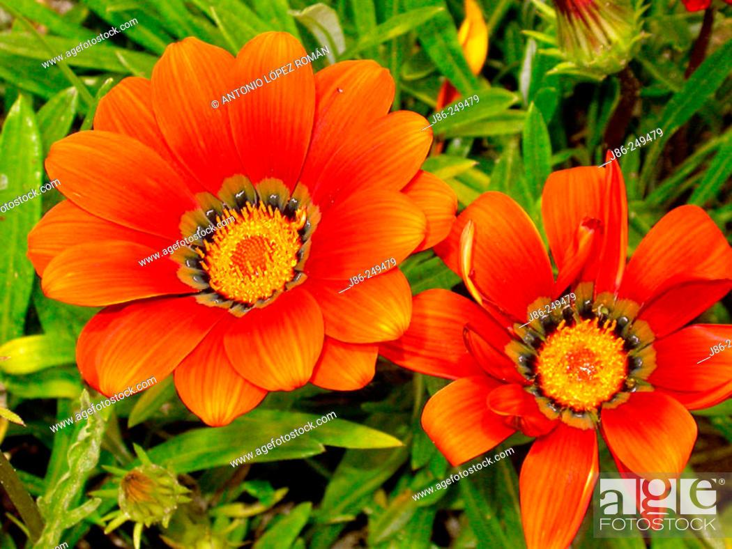 Stock Photo: Gazania (Gazania rigens) flowers.