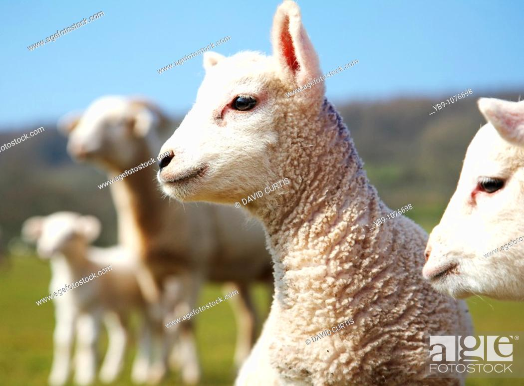 Stock Photo: Portrait of a lamb in a field in south Wales, UK.