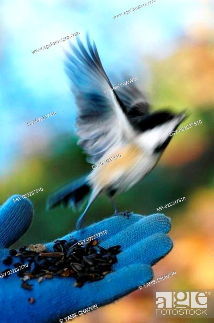 Stock Photo: Chickadee.