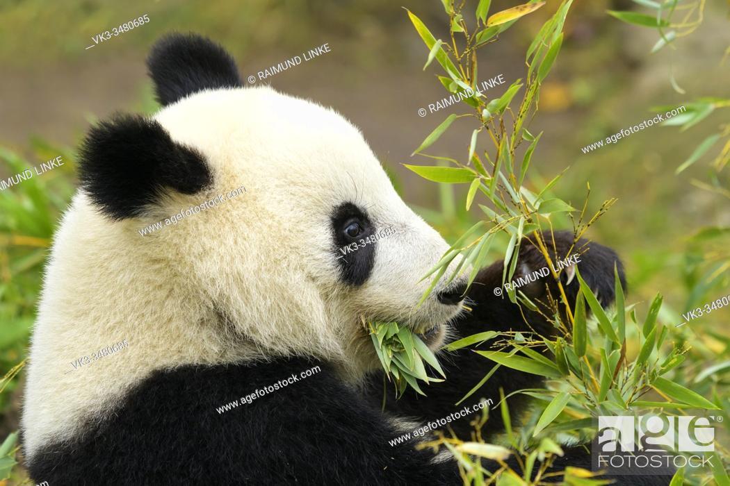 Stock Photo: Giant Panda, ailuropoda melanoleuca.