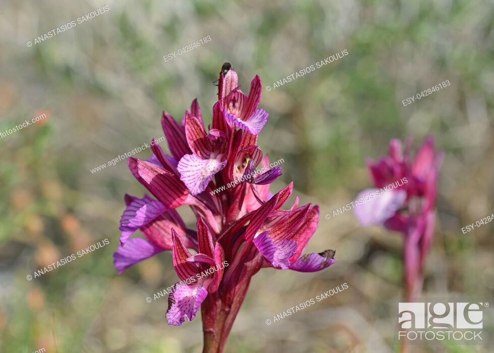 Stock Photo: Butterfly orchid (Orchis papilionacea), Greece.