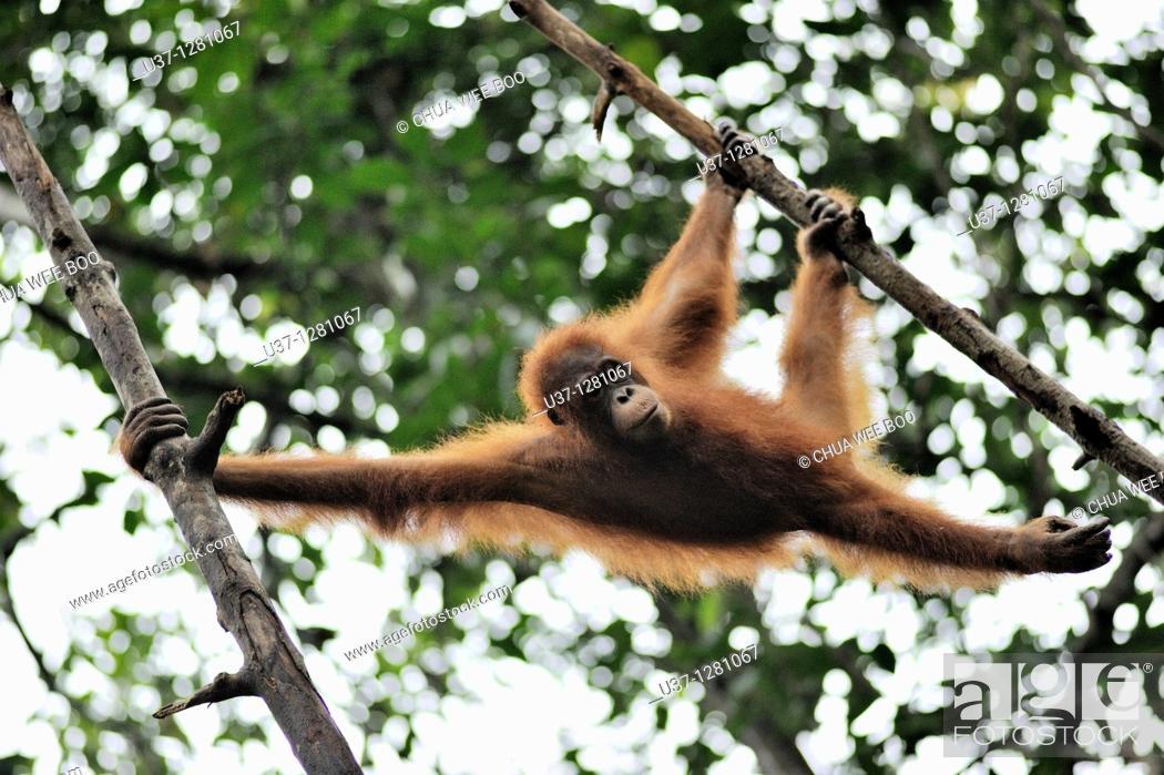 Stock Photo: Orang utan taken at Semengoh Wildlife Centre, Sarawak, Malaysia.