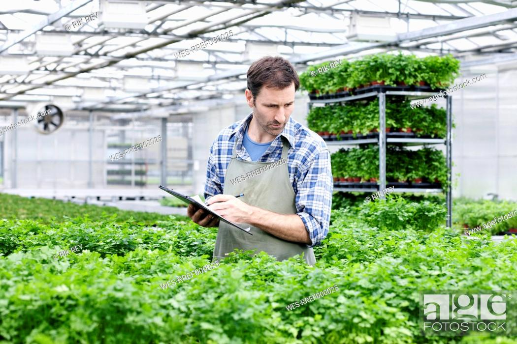 Stock Photo: Germany, Bavaria, Munich, Mature man examining parsley plants in greenhouse.
