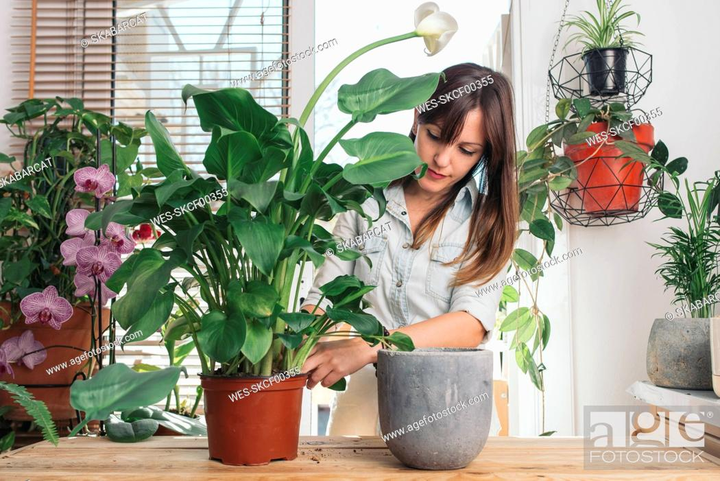 Stock Photo: Woman caring for a peace lily.