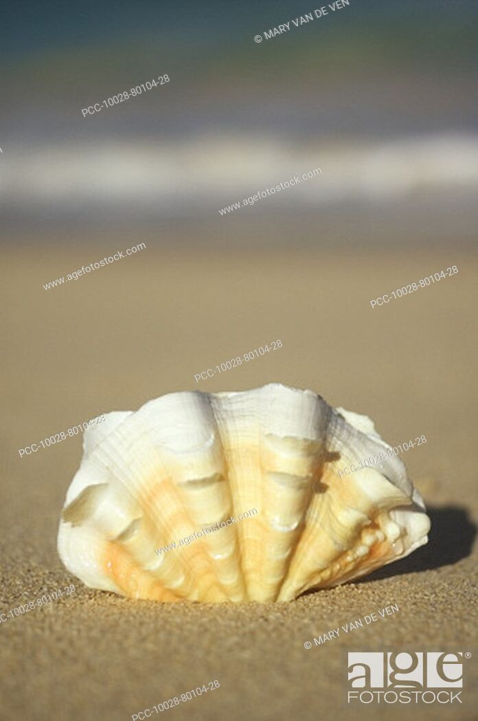 Stock Photo: Frilly white, yellow and orange clam shell upright on beach, blurred ocean in background.