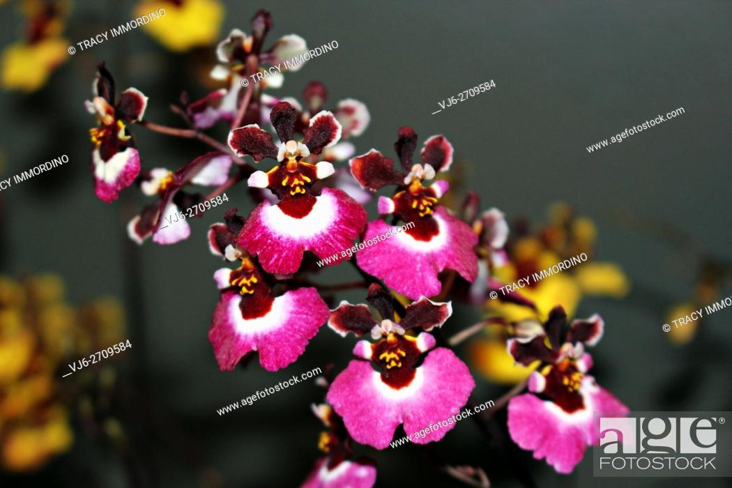 Stock Photo: Close up of a cluster of flowering Oncidium Orchid (red/hot pink in color).