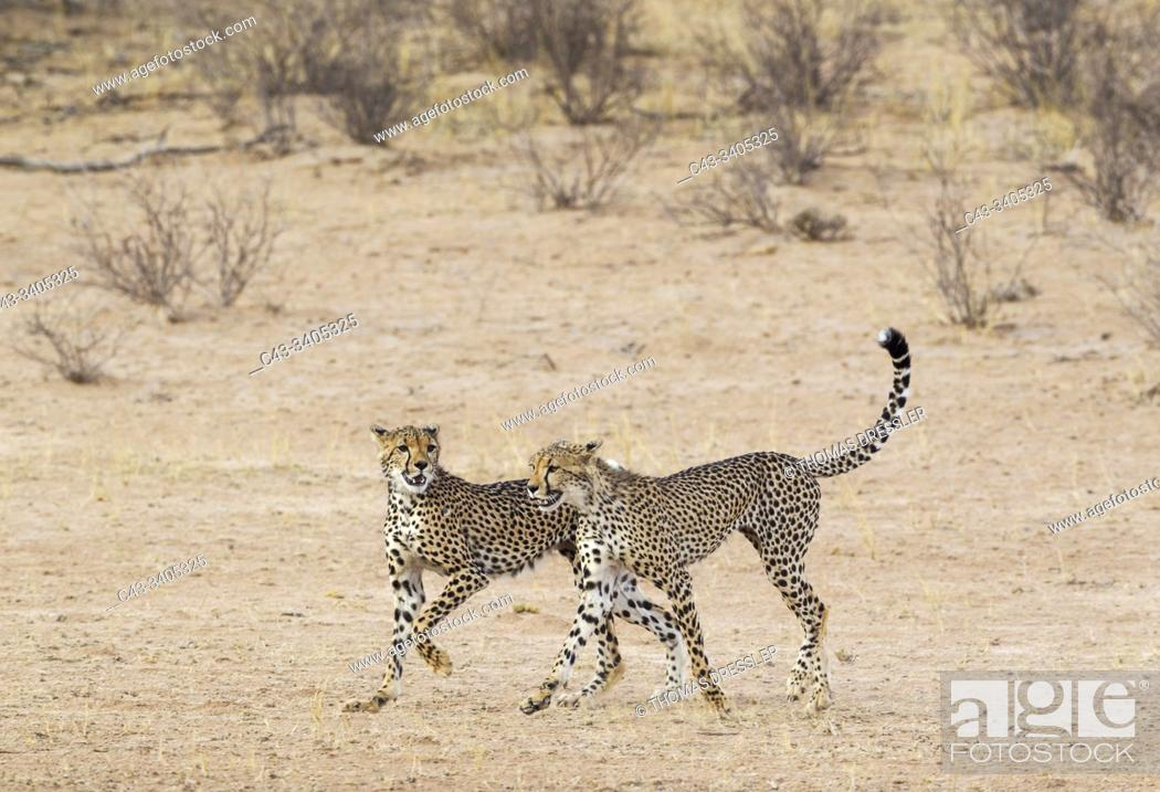 Stock Photo: Cheetah (Acinonyx jubatus). Two playful subadult males in the dry and barren Auob riverbed. During a severe drouight. Kalahari Desert.