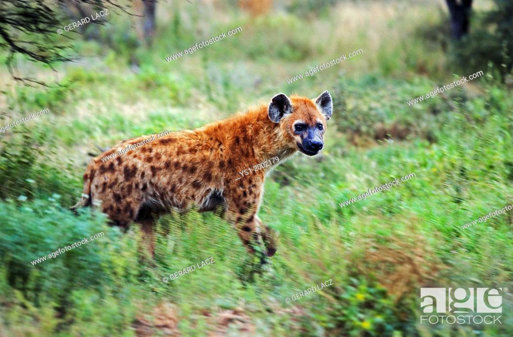 Stock Photo: Spotted Hyena, crocuta crocuta, Adult at Masai Mara Park in Kenya.