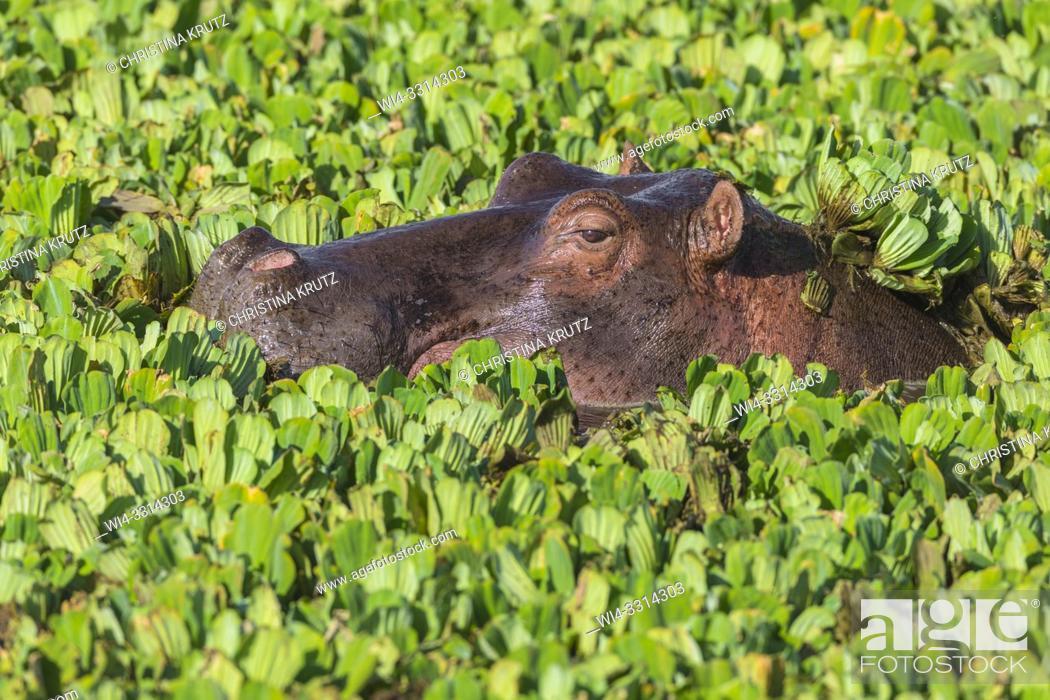 Stock Photo: Wild hippopotamus (Hippopotamus amphibus) in a pond covered with water lettuce, Masai Mara National Reserve, Kenya, Africa.