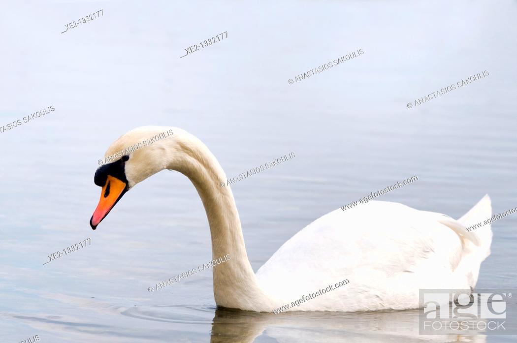 Stock Photo: Mute Swan - Cygnus olor, Crete.