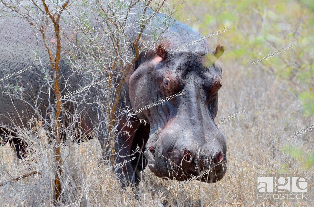 Stock Photo: Hippopotamus (Hippopotamus amphibius), adult male sweating, in dry grass, Kruger National Park, South Africa, Africa.