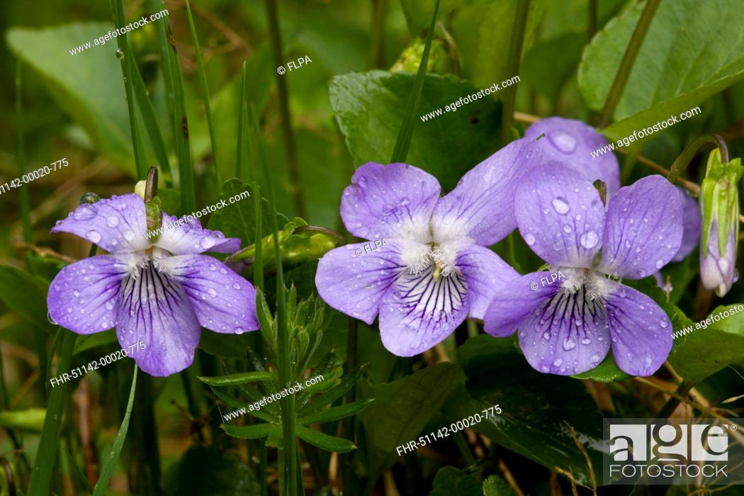 Stock Photo: Common Dog Violet Viola riviniana close-up of flowers, after rainfall, Bulgaria, may.