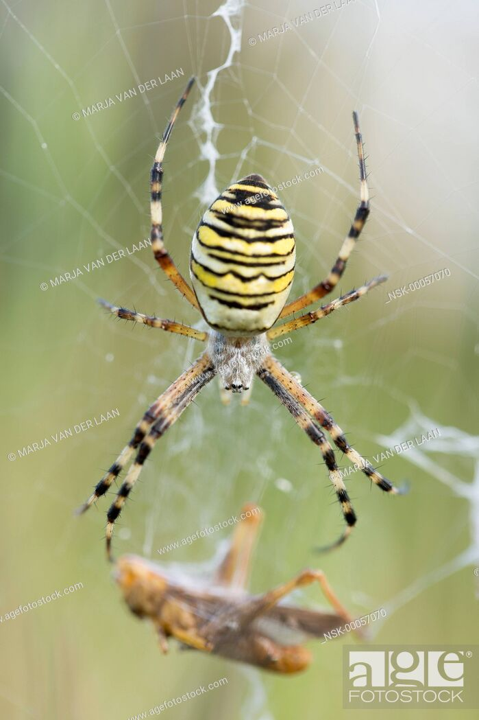 Imagen: Female Wasp Spider (Argiope bruennichi) with caught prey (Grasshopper) in her web, The Netherlands, Gelderland.
