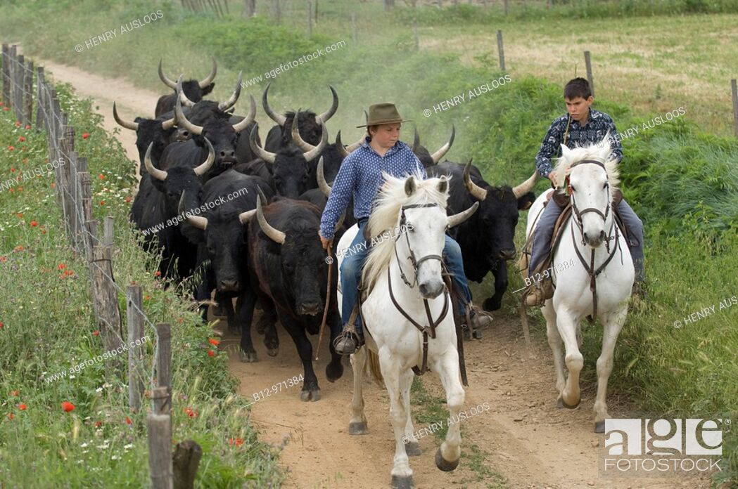 Stock Photo: Camargue bulls and French cowboys called 'gardians', Camargue, France.
