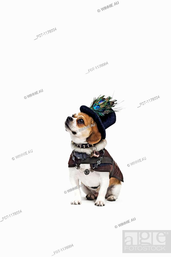 Stock Photo: A Peagle wearing a top hat and period costume.