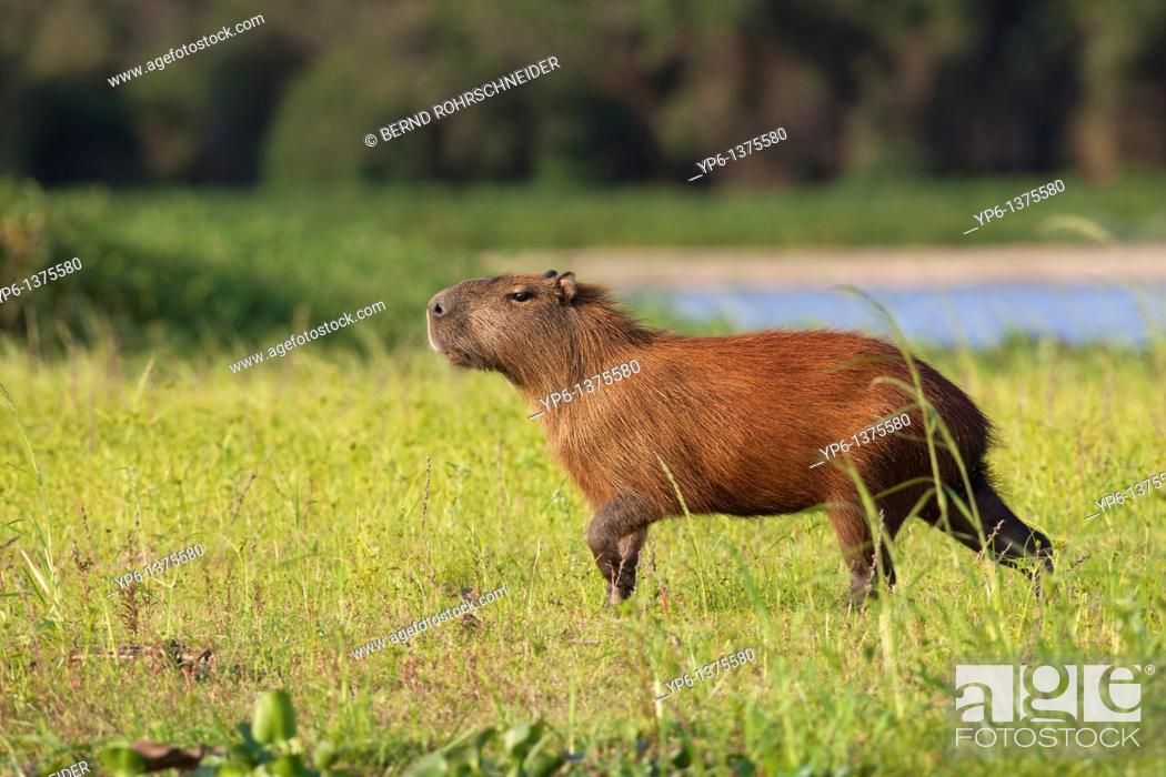 Stock Photo: Capybara Hydrochoerus hydrochaeris in evening light, Pantanal, Brazil.