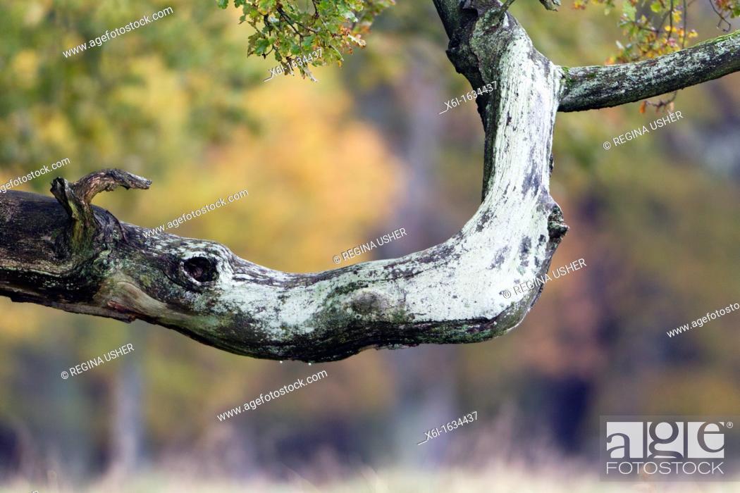 Stock Photo: Oak Tree Quercus robur, Branch Resembling the Head of a Rhinoceros, Klampenborg Park, Copenhagen, Sjaelland, Denmark.
