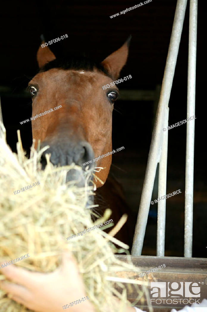Stock Photo: A horse being fed hay.