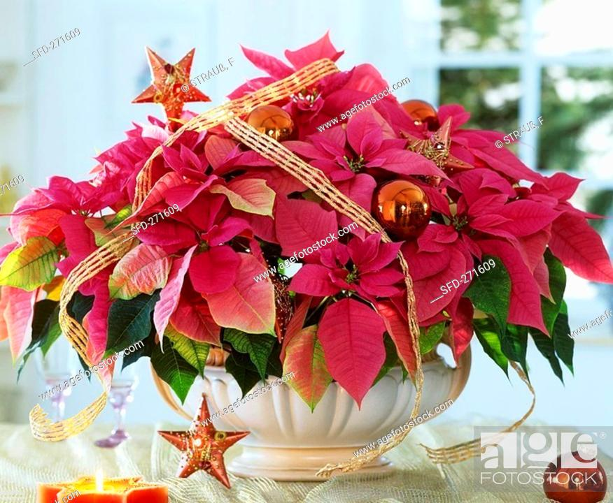 Stock Photo: Poinsettia, variety 'Cortez Hot Pink'.