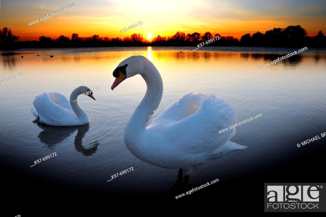 Stock Photo: Mute swan (Cygnus olor) couple, sunset.