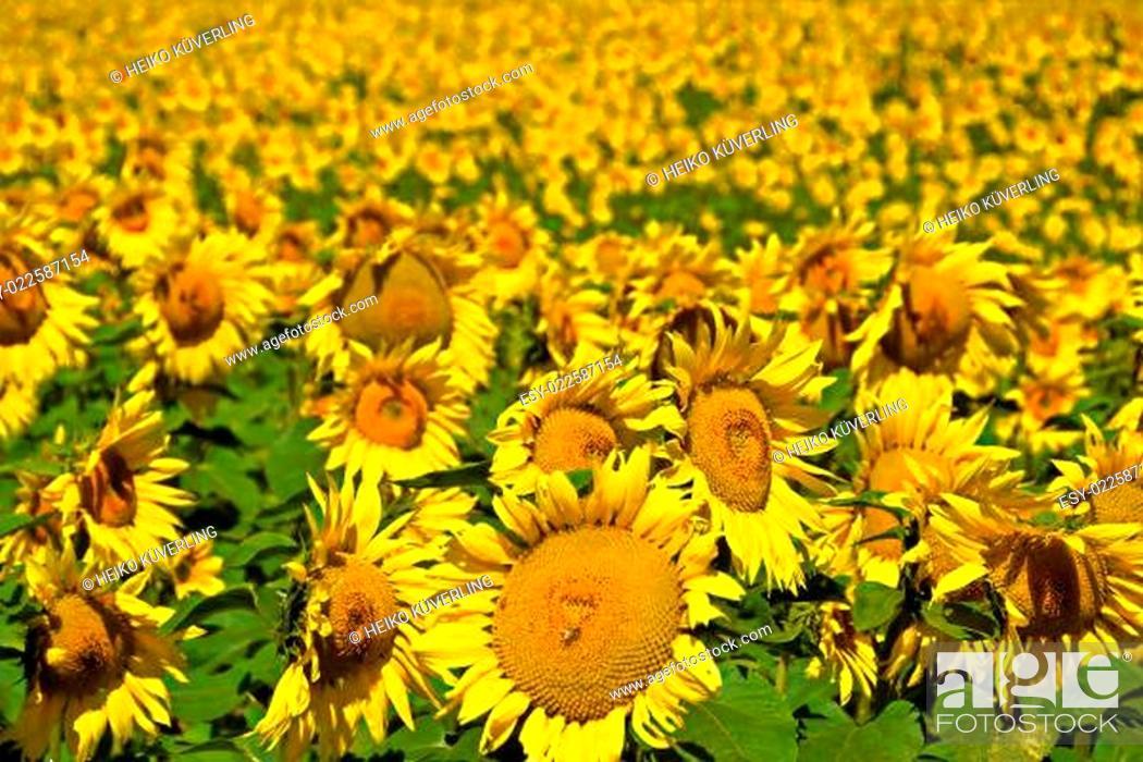 Stock Photo: Sonnenblumen auf einem Feld.