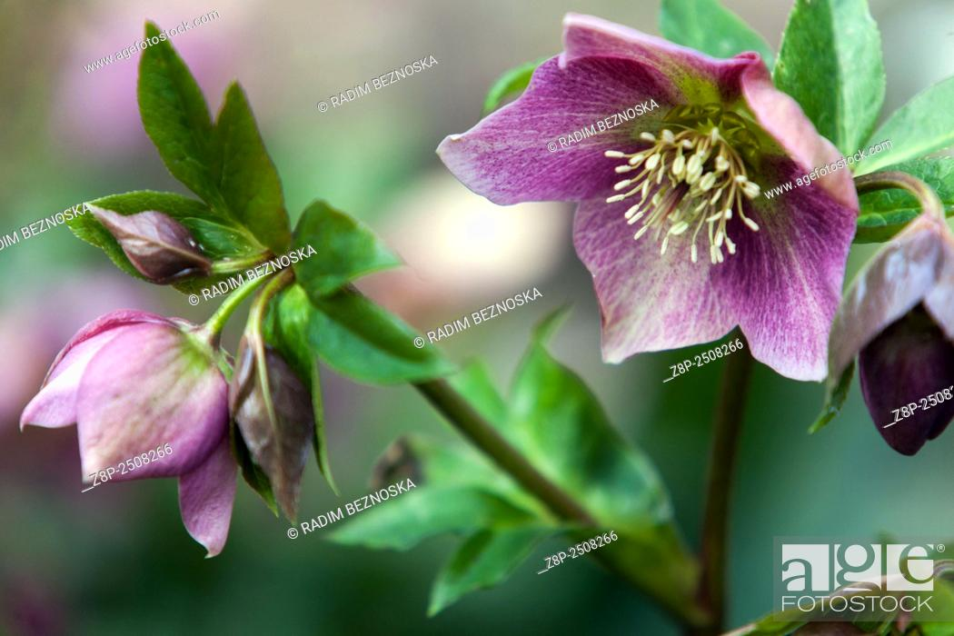 Stock Photo: Christmas rose helleborus niger.