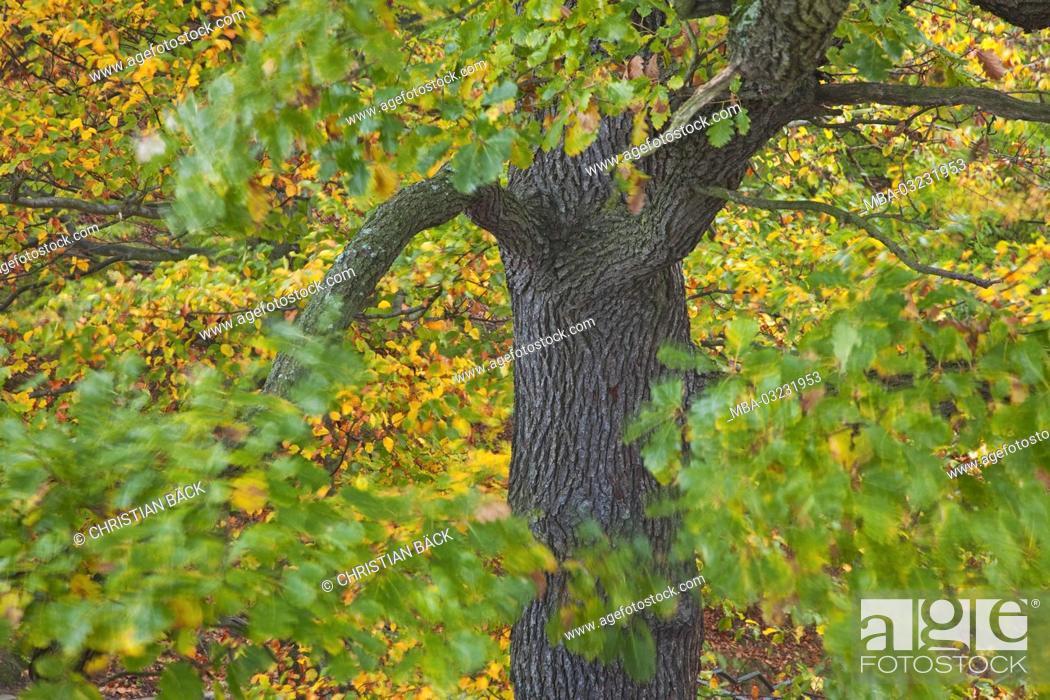 Stock Photo: Oak in autumn, Saxon, Germany,.