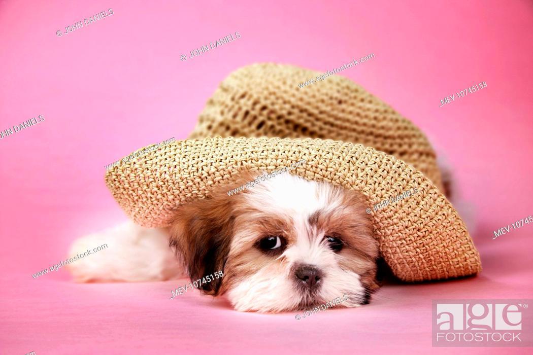 Dog Shih Tzu 10 Week Old Puppy Under A Hat Stock Photo Picture
