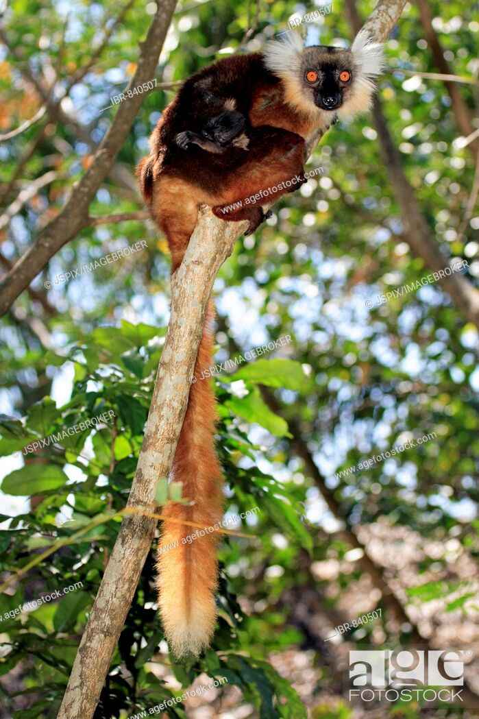 Stock Photo: Black Lemur (Eulemur macaco), adult female and infant in a tree, Nosy Komba, Madagascar, Africa.