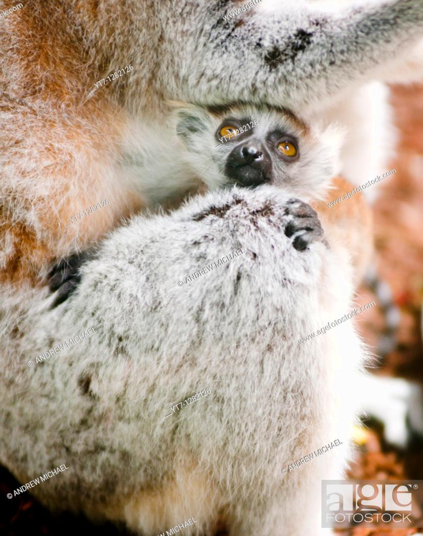 Stock Photo: Baby Lemur clinging to its mother.