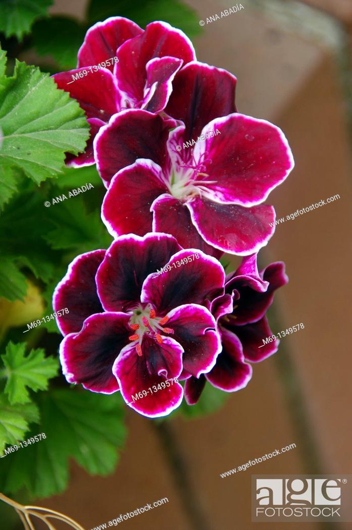 Stock Photo: geranium purple.