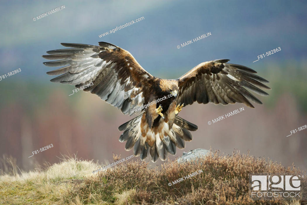 Stock Photo: Golden Eagle (Aquila chrysaetos) adult in flight preparing to land on rock. Glenfeshie in the Cairngorms National Park (near Aviemore.