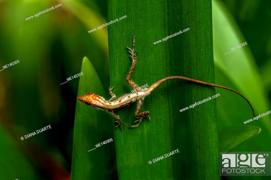 Stock Photo: 'Anolis ( Anolis )'. When it comes to reproduction for the Lizard it often depends on their location and the specific species. Talamanca, Costa Rica.