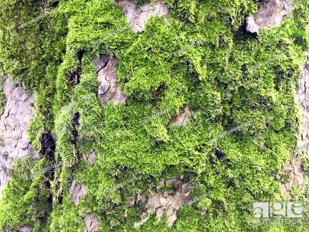 Stock Photo: Italy, Lombardy, Green Moss on Trunk. . . .
