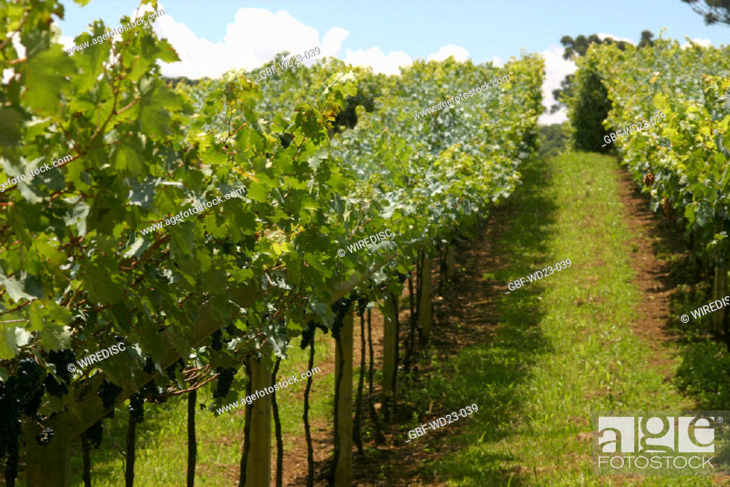 Stock Photo: Plantations, vineyard, agriculture, Brazil.