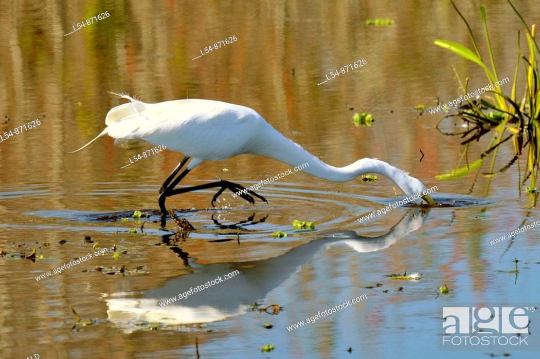 Stock Photo: Great White Heron at the Circle B Bar Reserve Environmental Nature Center Lakeland Florida Polk County U S.