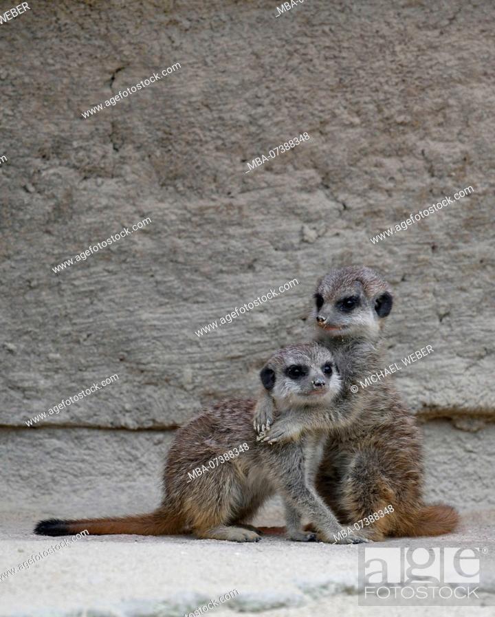 Stock Photo: Meerkat, Suricata suricatta, young, 6 weeks old, cuddling, captive.