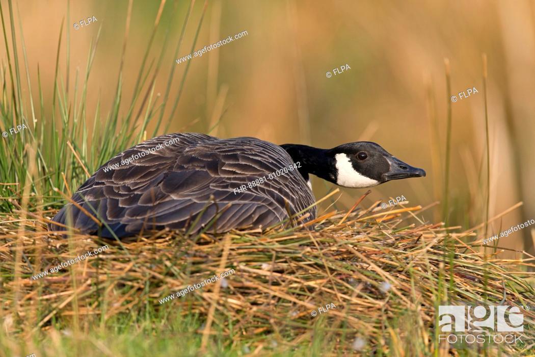 Stock Photo: Canada Goose (Branta canadensis) adult, sitting on nest incubating eggs, Devon, England, UK, April.