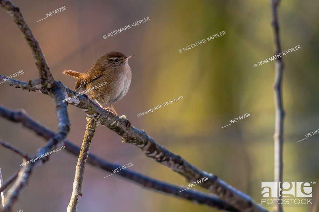 Stock Photo: germany, saarland, homburg - A little wren is searching for fodder.