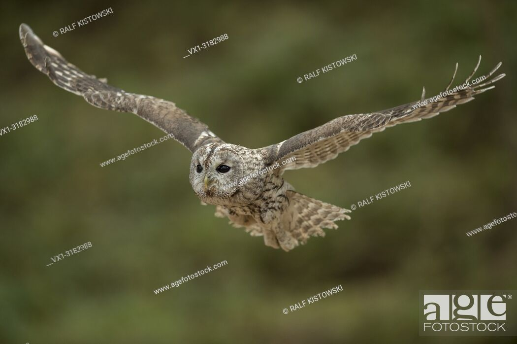 Stock Photo: Tawny Owl (Strix aluco) in noiseless gliding flight, with its wings wide open, in front of blurred, clean background.