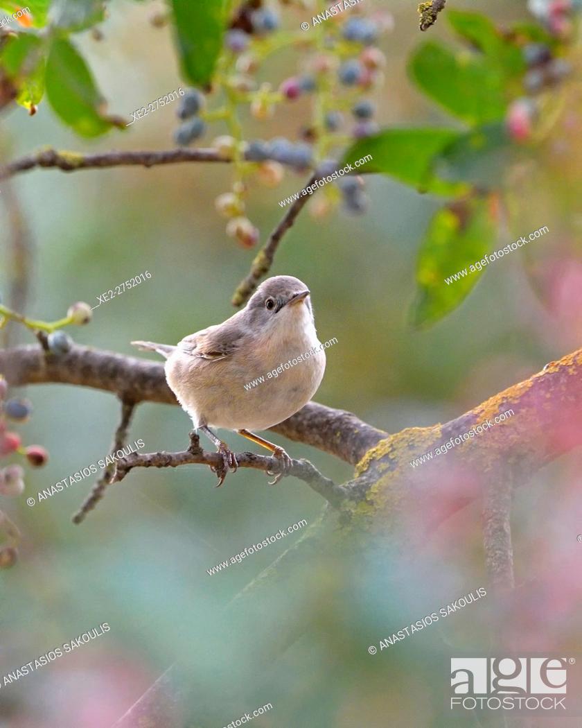 Stock Photo: Subalpine Warbler (Sylvia cantillans), Greece.