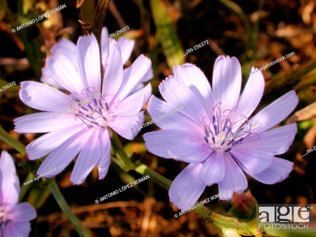 Stock Photo: Chicory (Cichorium intybus).